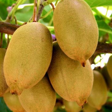 En direct des vergers : belle récolte kiwi à venir