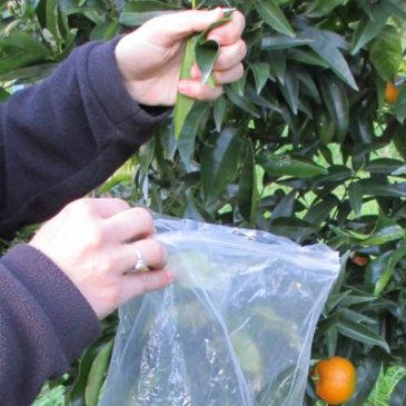 Conduite des vergers : analyse des feuilles des clémentiniers