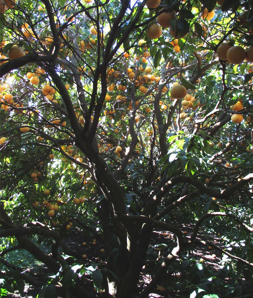 arbre_pomelos