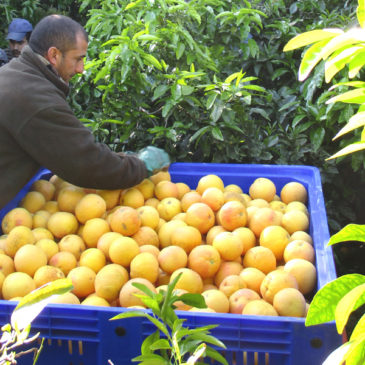 La récolte de pomelos bat son plein chez nos producteurs