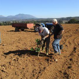 Plantation importante de clémentiniers dans les vergers Agrucorse